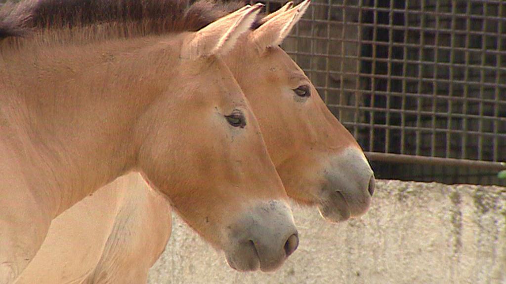 Kůň Převalského