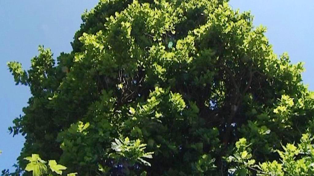 Stoletý dub pyramidální