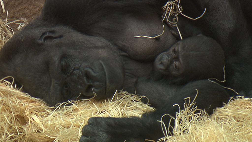 Gorilí rodina v pražské zoo