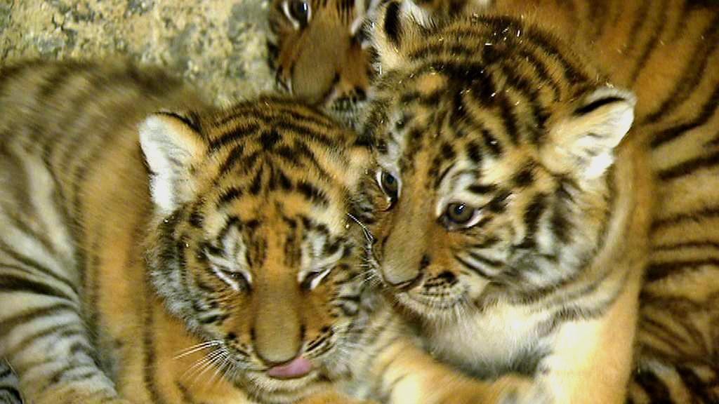 Mláďata sibiřského tygra