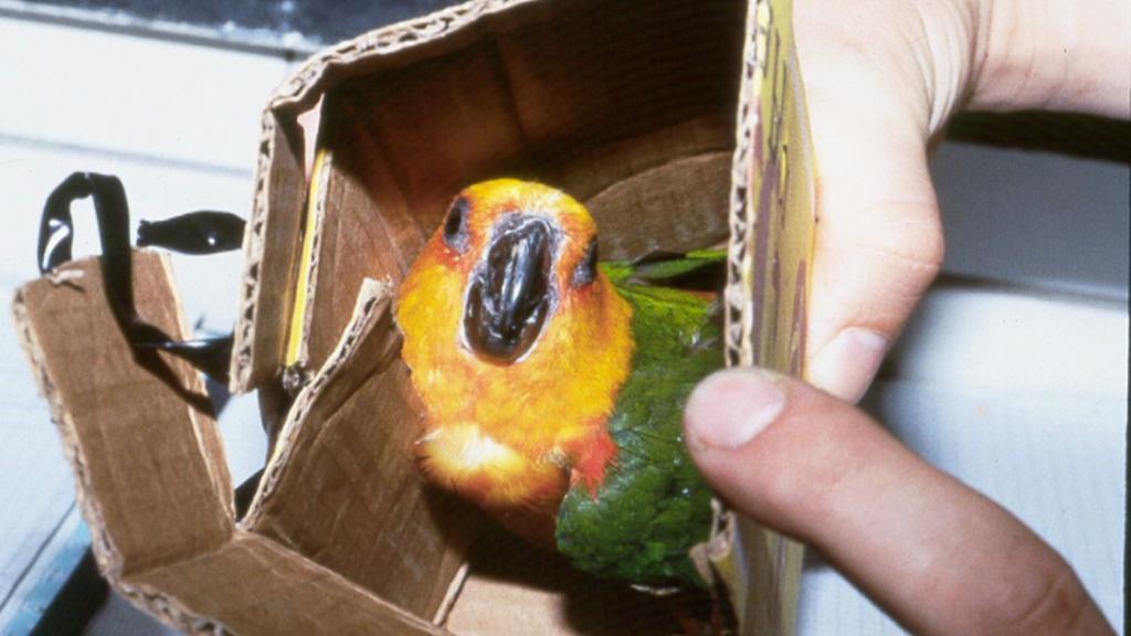 Pašovaný papoušek