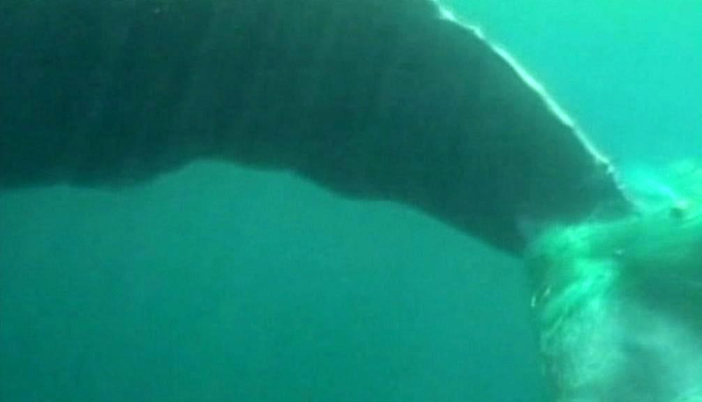 Keporkak zamotaný ocasem do sítí