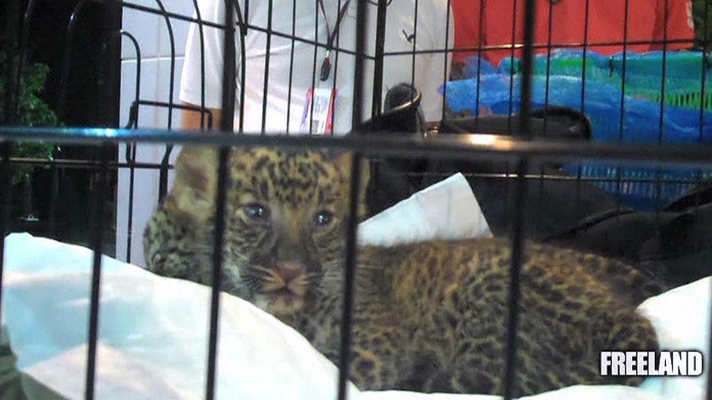 Pašerák měl v kufru mláďata leoparda