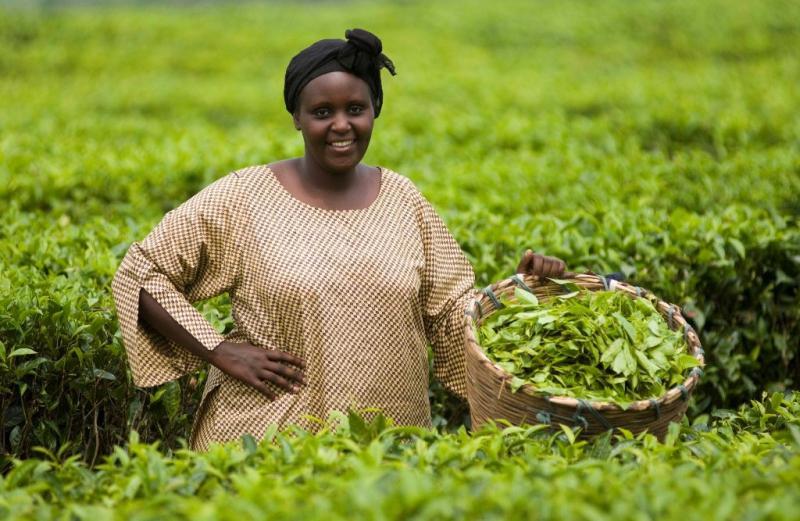 Sběr fair trade čajových lístků