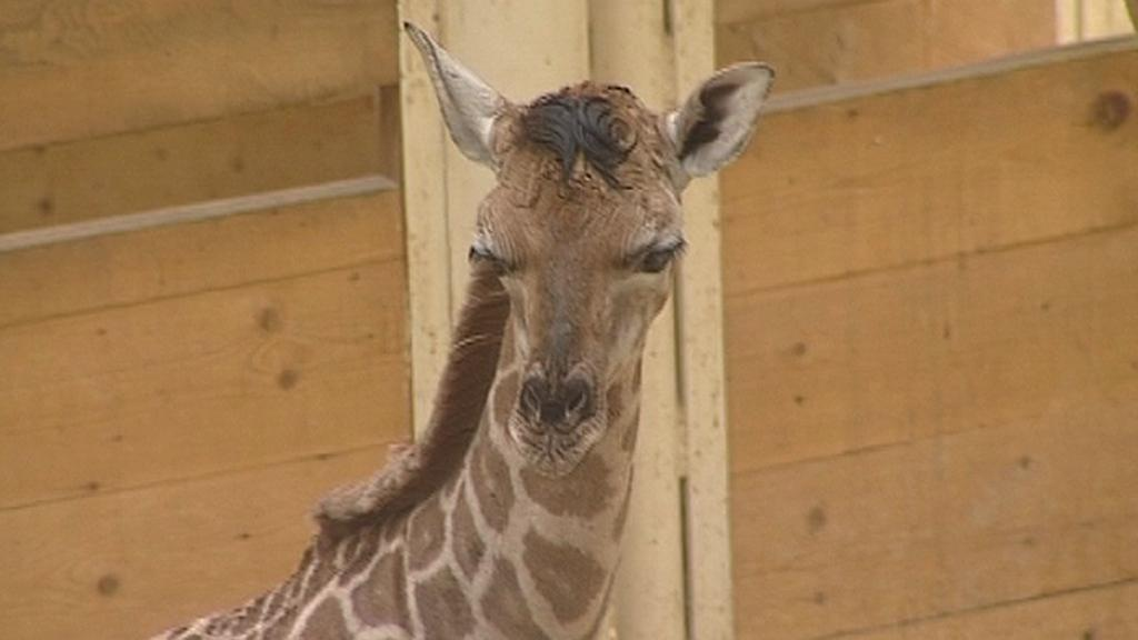 Mládě žirafy Rotschildovy