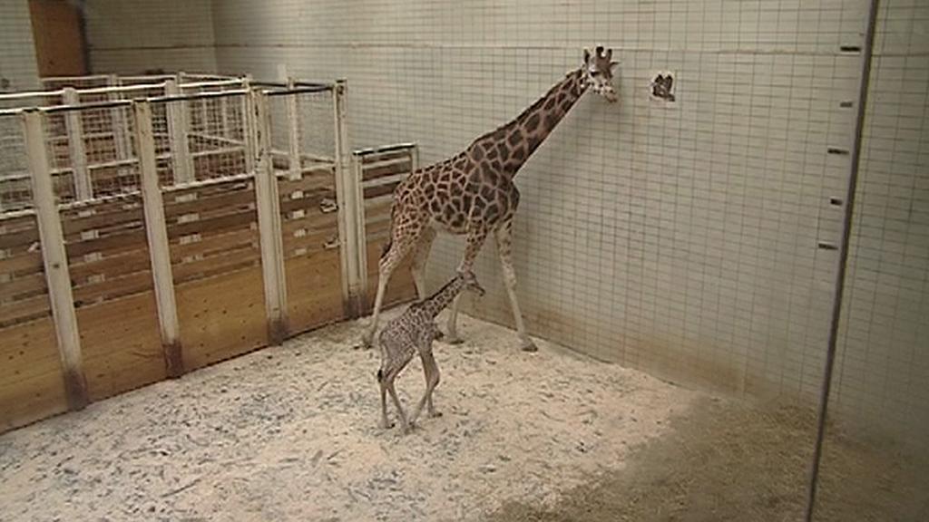 Mládě žirafy Rotschildovy s matkou