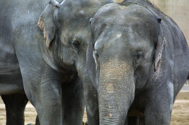 Sloni indičtí