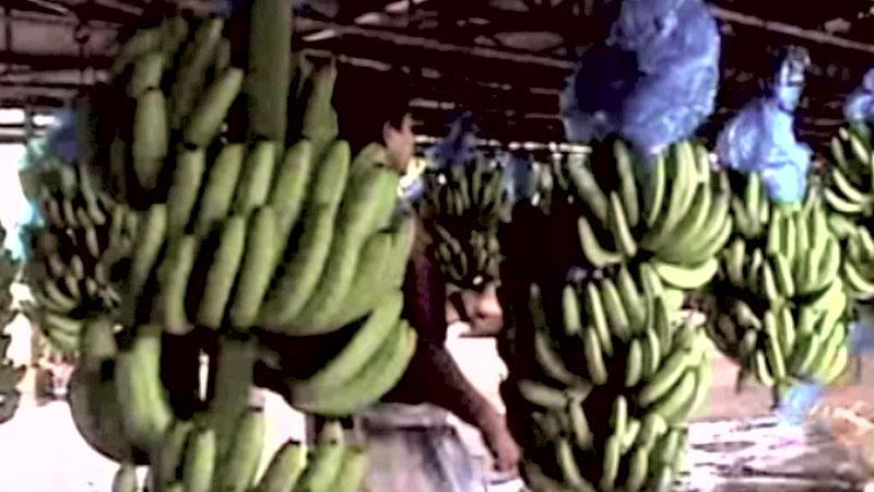 Práce na banánových plantážích