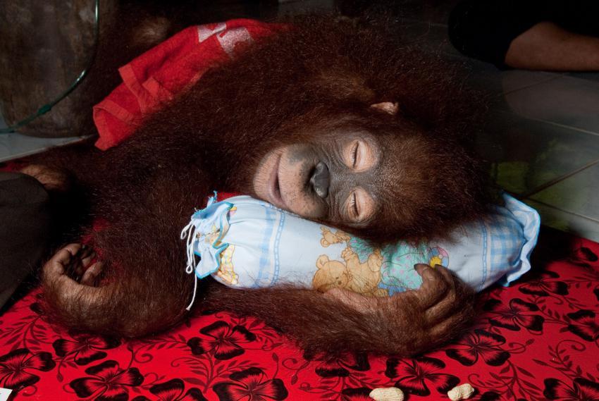 Orangutan z filmu Návrat do divočiny 3D