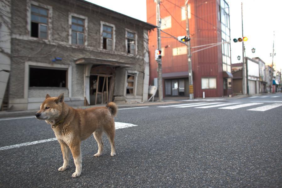 Pes v evakuační zóně kolem Fukušimy