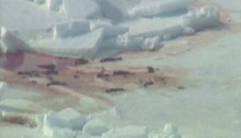 Lov tuleňů