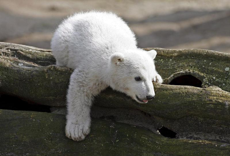 Medvídek Knut