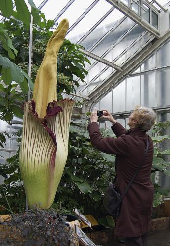 Květ zmijovce titánského