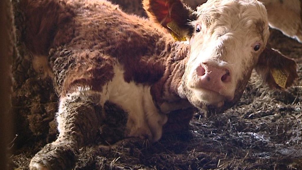 Zubožená kráva