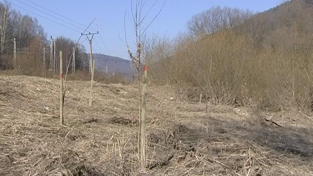 Vysázené topoly na břehu Labe u Děčína