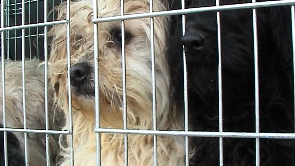 Psi z Chvalešovic