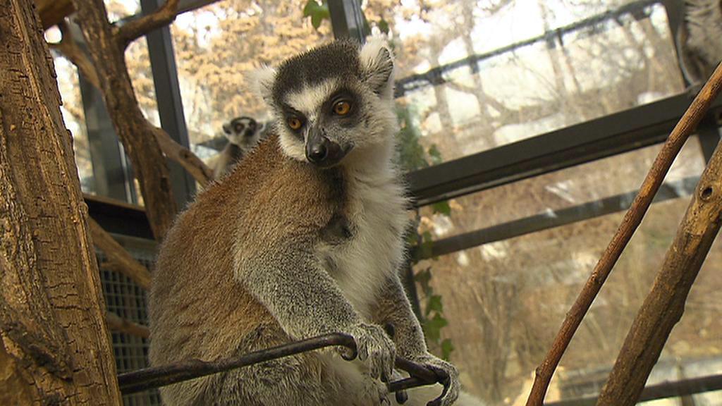 Lemur Chvastiti