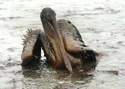 Pelikán hnědý zasažený ropou
