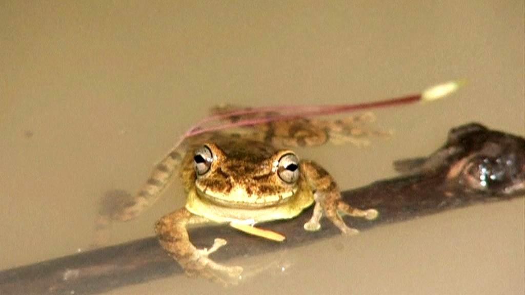 Na Haiti objevili šest druhů vzácných žab