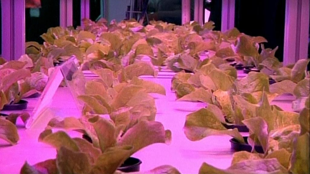 Saláty pěstované pod LED světlem