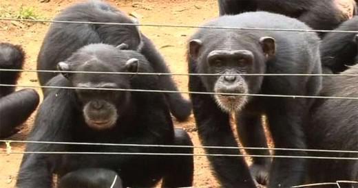 Šimpanzi v rezervaci v Sierra Leone