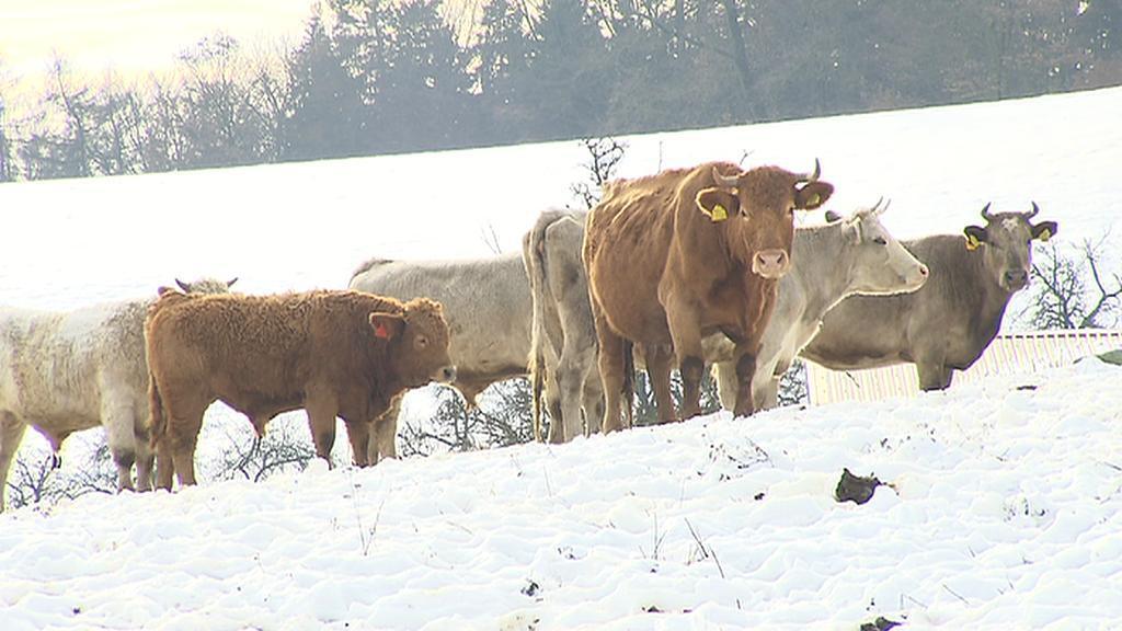 Toulající se stádo dobytka