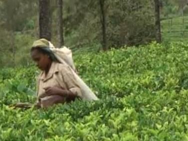 Pěstování čaje na Srí Lance
