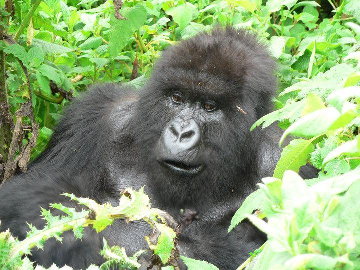 Horské Gorily v rezervaci