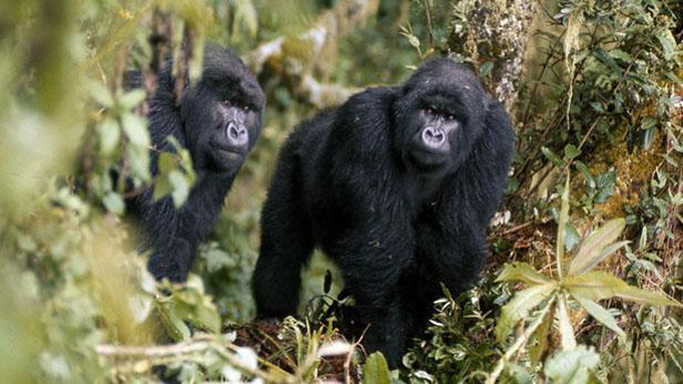 Fotografie Dian Fosseyové z magazínu National Geographic