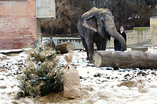 I sloni v zoo dostávají dárky