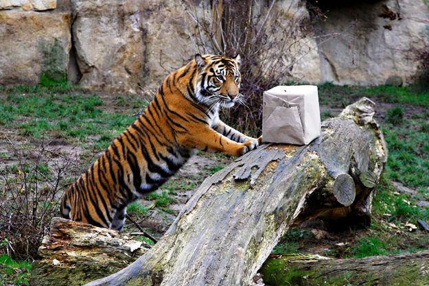 I tygři v zoo dostávají dárky