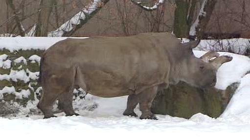 Bílý severní nosorožec ve Dvoře Králové