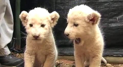 Bílá lvíčata v JAR