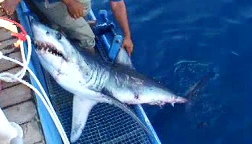 Ulovený žralok