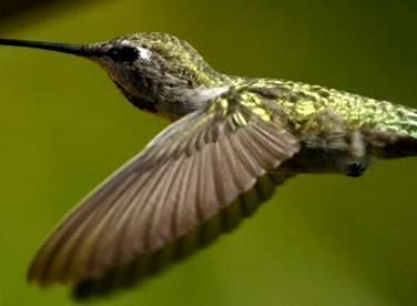 Kolibřík, ptáček Superman