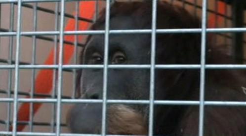Orangutan Paddy