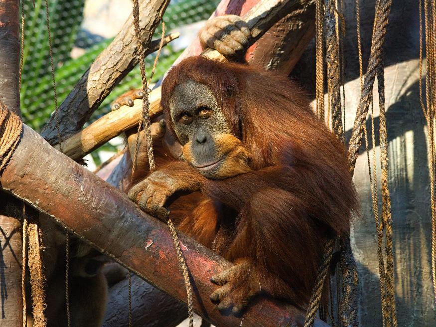 Orangutan Pady