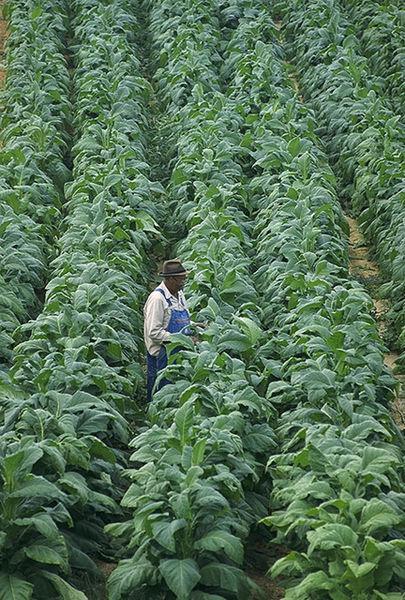 Tabáková plantáž