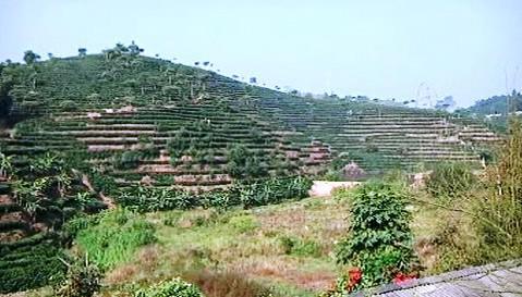 Pěstování kávy