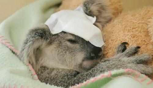 Zraněná koala
