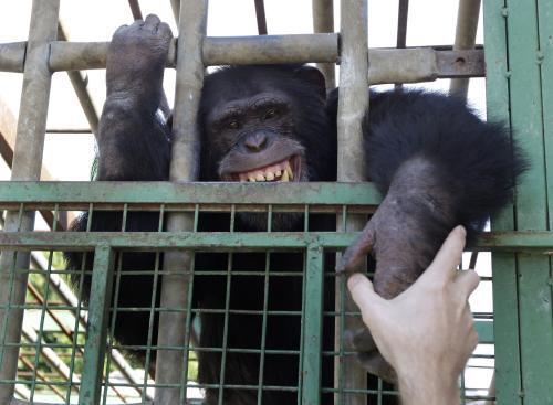 Šimpanz Omega