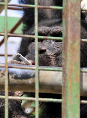 Šimpanz Omega se musí odnaučit kouřit