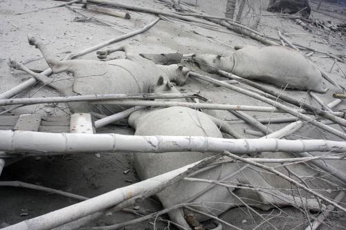 Obětí sopečné erupce je i dobytek
