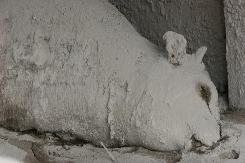 Kráva usmrcená při erupci Merapi