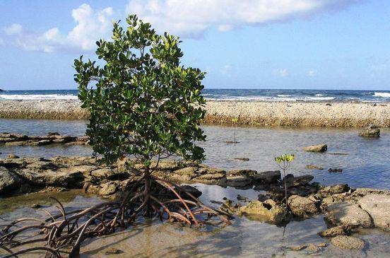 Mangrovník