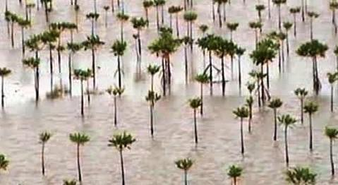 Mladé mangrovníky