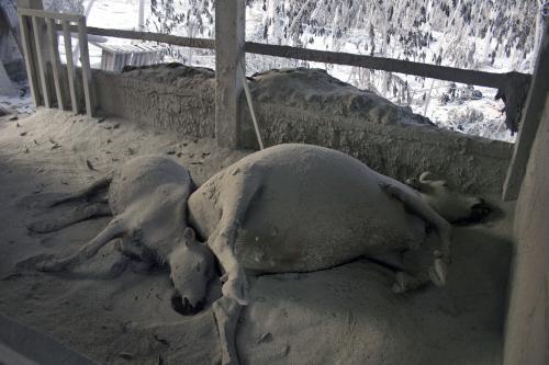 Obětí sopky Merapi se stala i domácí zvířata