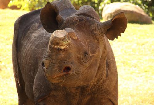 Samička nosorožce Phila přežila devět útoků pytláků