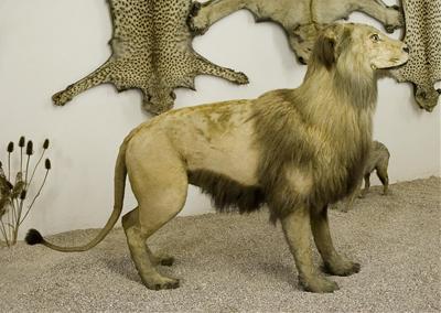Vycpanina lva