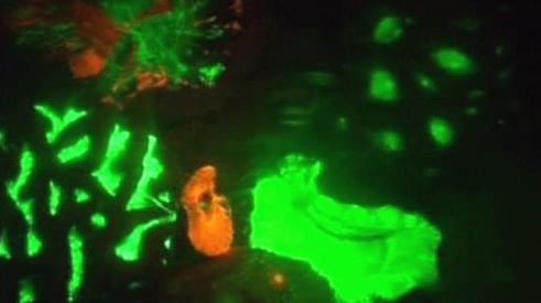 Koráli s fosforeskujícími proteiny